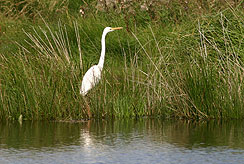 White heron awaits its lunch